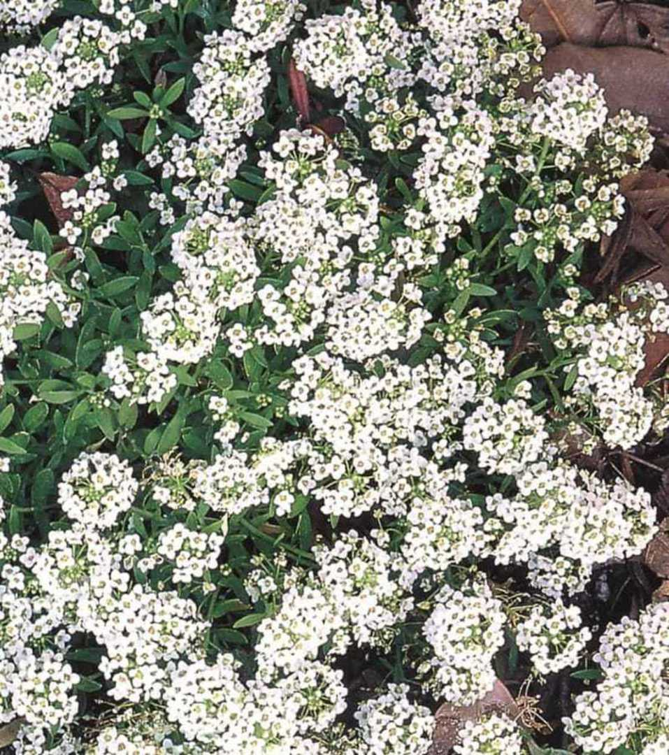 White Alyssum for Orchards - Attractive beneficial insect plant