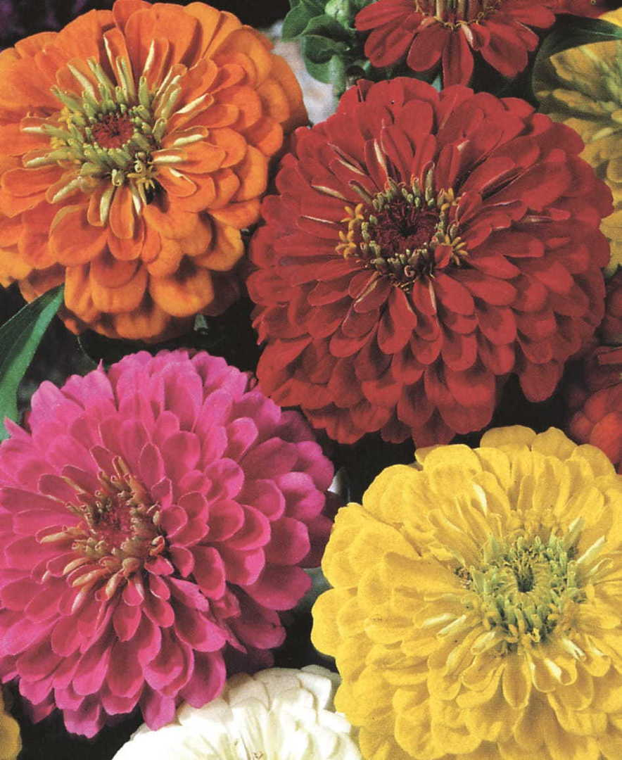 Zinnia Dahlia Flowered Gold Medal Mix image 0
