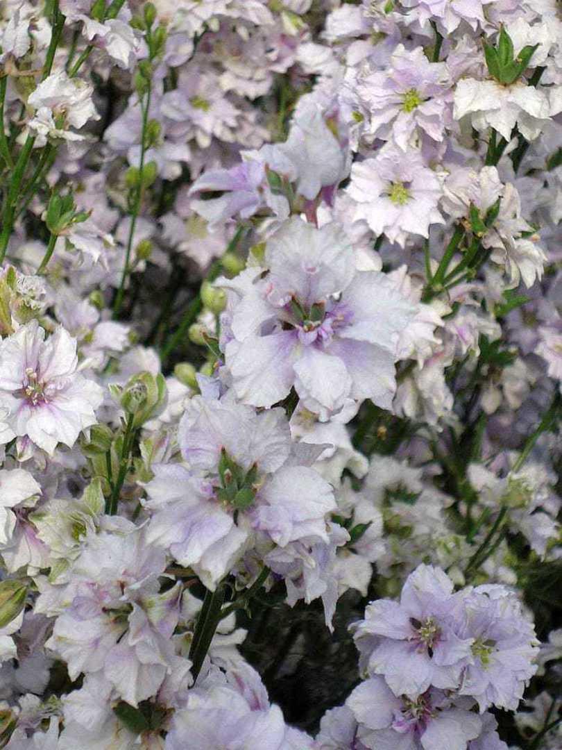 Larkspur Smokey Eyes - smokey double White flowers