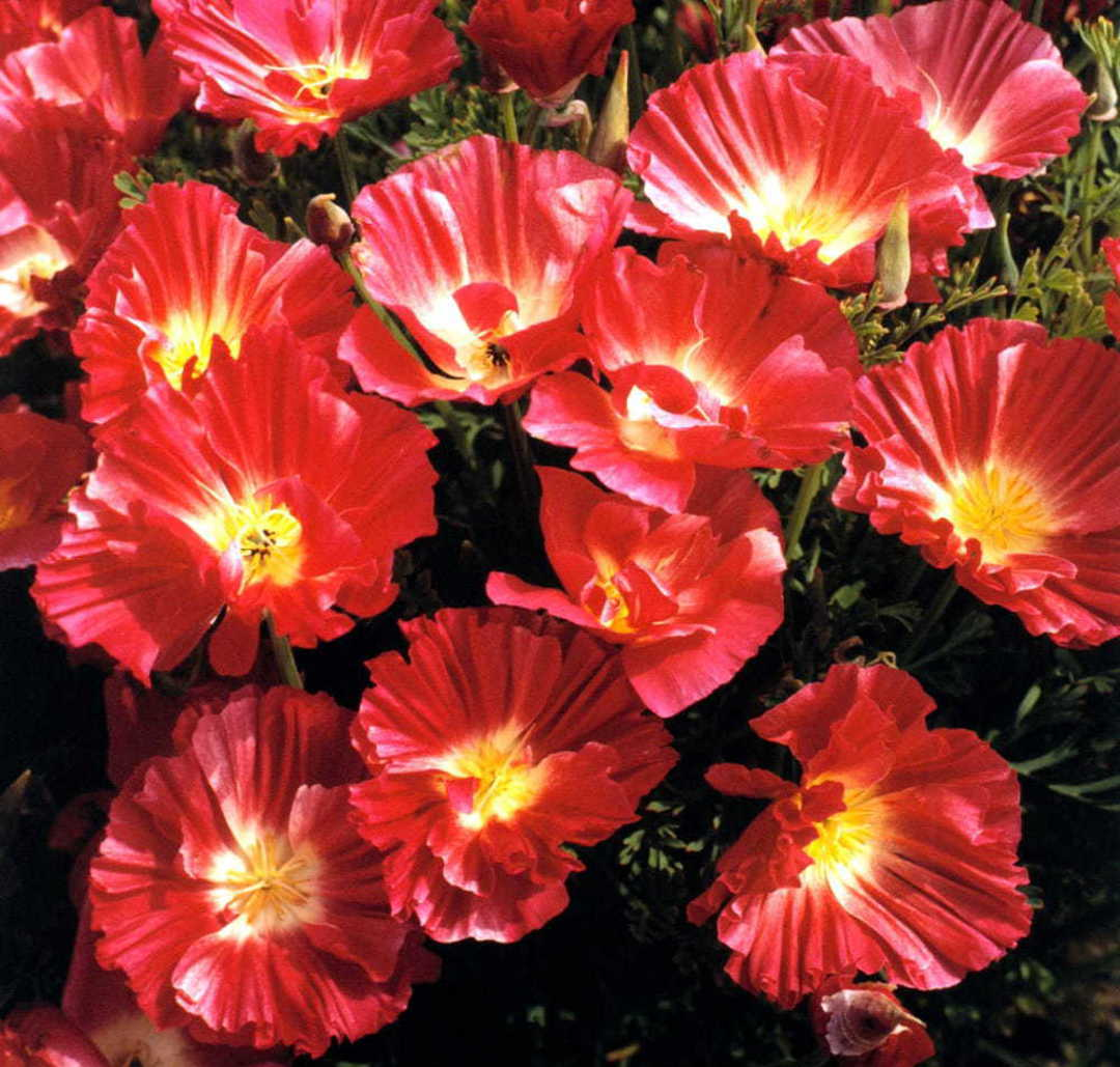 Poppy California Rose Bush -  frilled petals in shades of Rose Pink