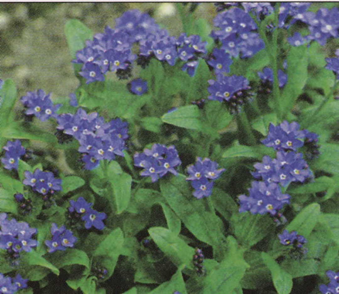 Forget Me Not Indigo Blue - classic standing Forget Me Not