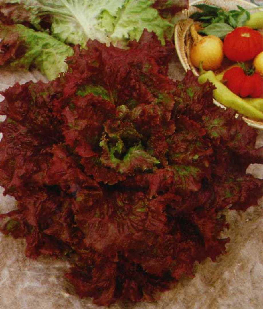 Lettuce Apache -  red to purple wrap-around leaves