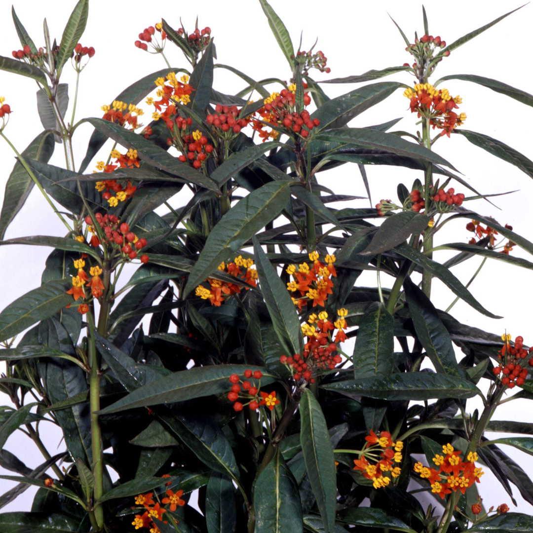 Asclepias Apollo Orange - Bright Scarlet Orange Milkweed