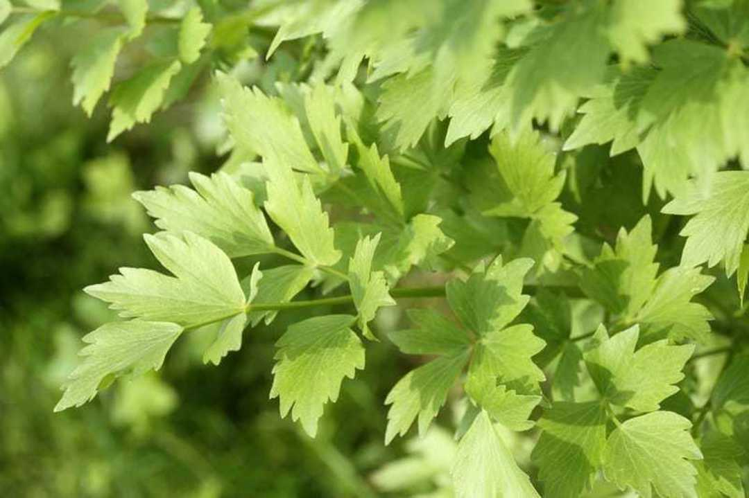 Lovage -  excellent celery-flavoured leaves