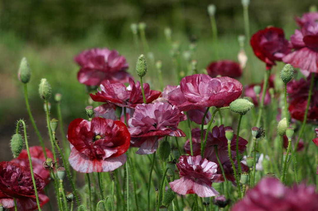 Poppy Pandora - deepest Burgundy Red to Pinkish Red