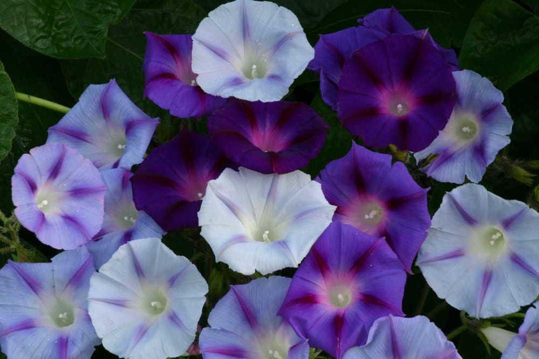 Morning Glory Hazelwood Blues - sky blue to deep violet