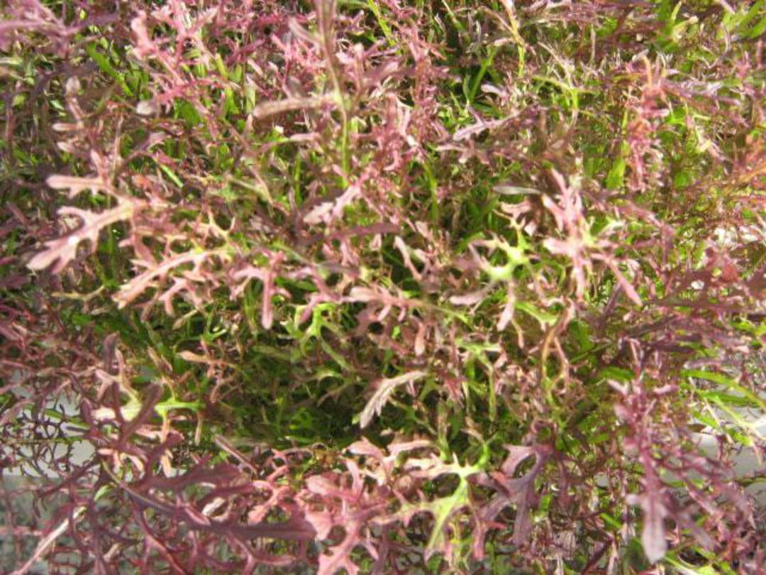 Mizuna Red Coral -  dark purple leaves and dark veins