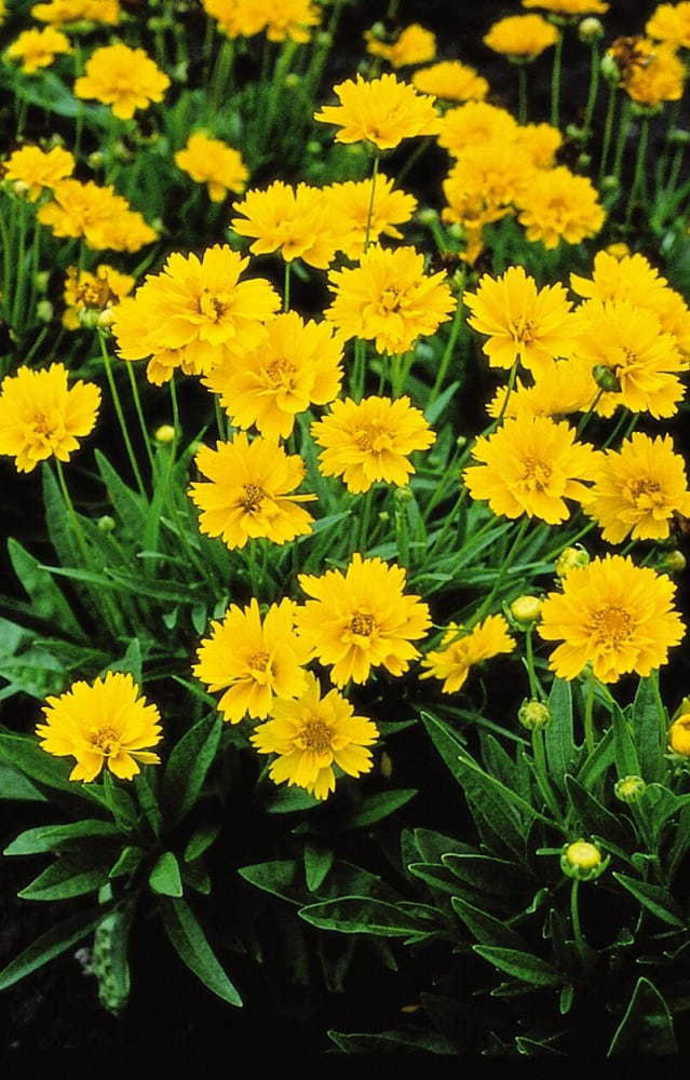 Coreopsis Early Sunrise - Golden Yellow semi double blooms