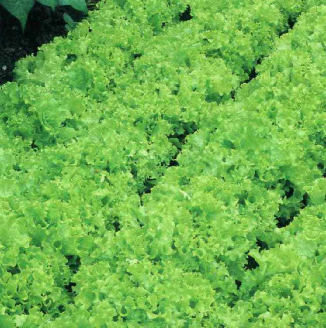 Organic Lettuce Tango - beautiful green colour