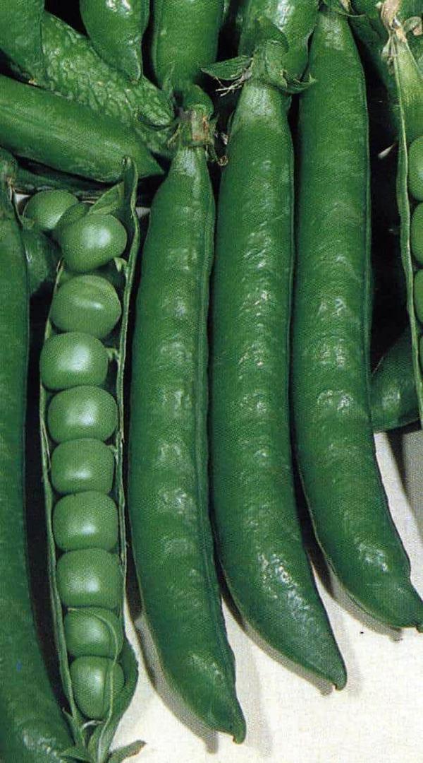 Pea Utrillo - dark green 12cm pods