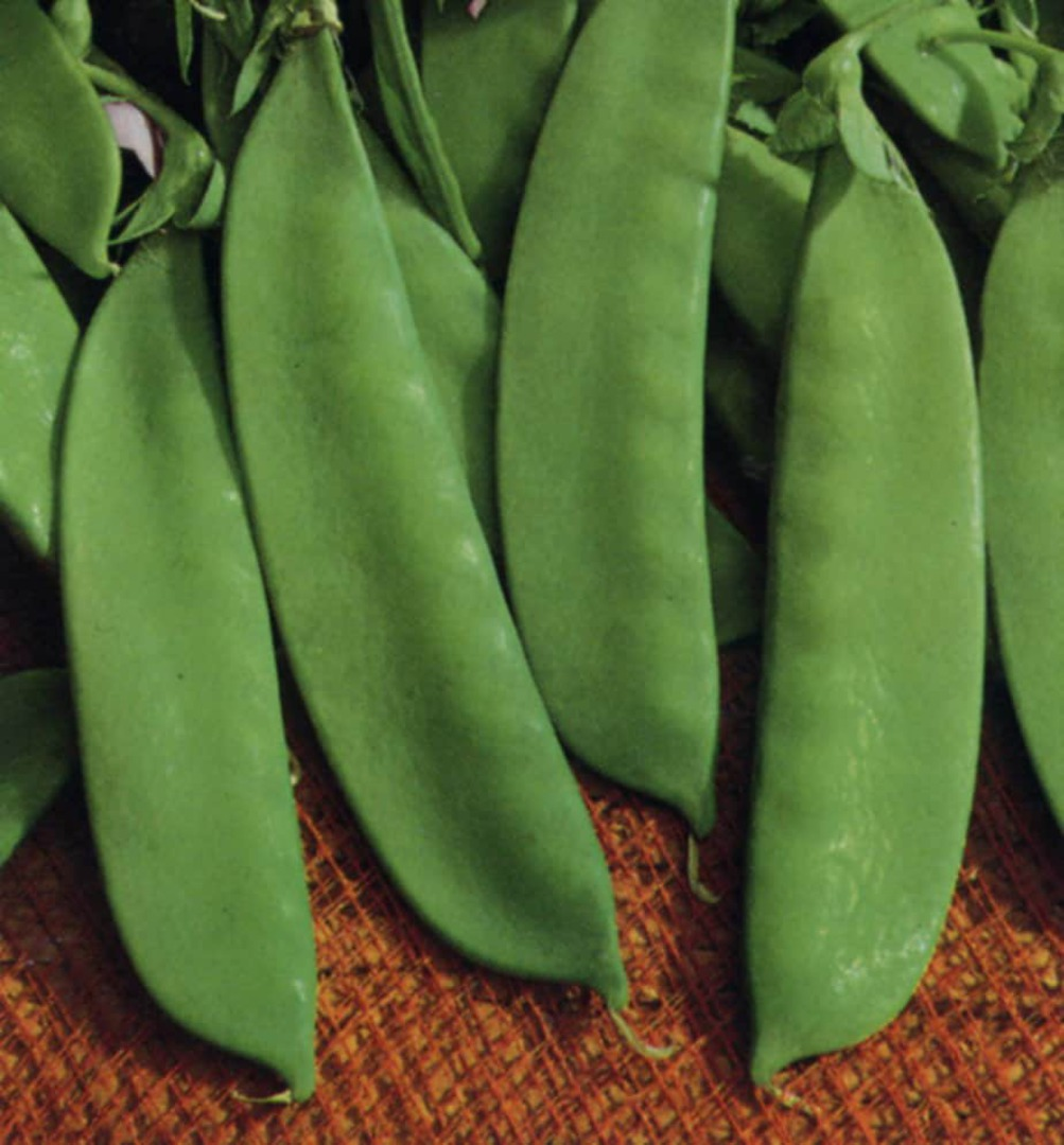 Pea Snow Pea Kennedy Dwarf - shiny mid green pods
