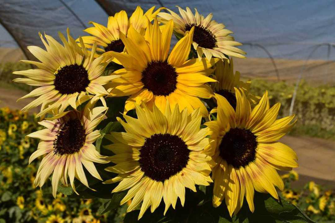 Sunflower Tinies F1 - Dwarf Sunflowers in a range of pastel colours