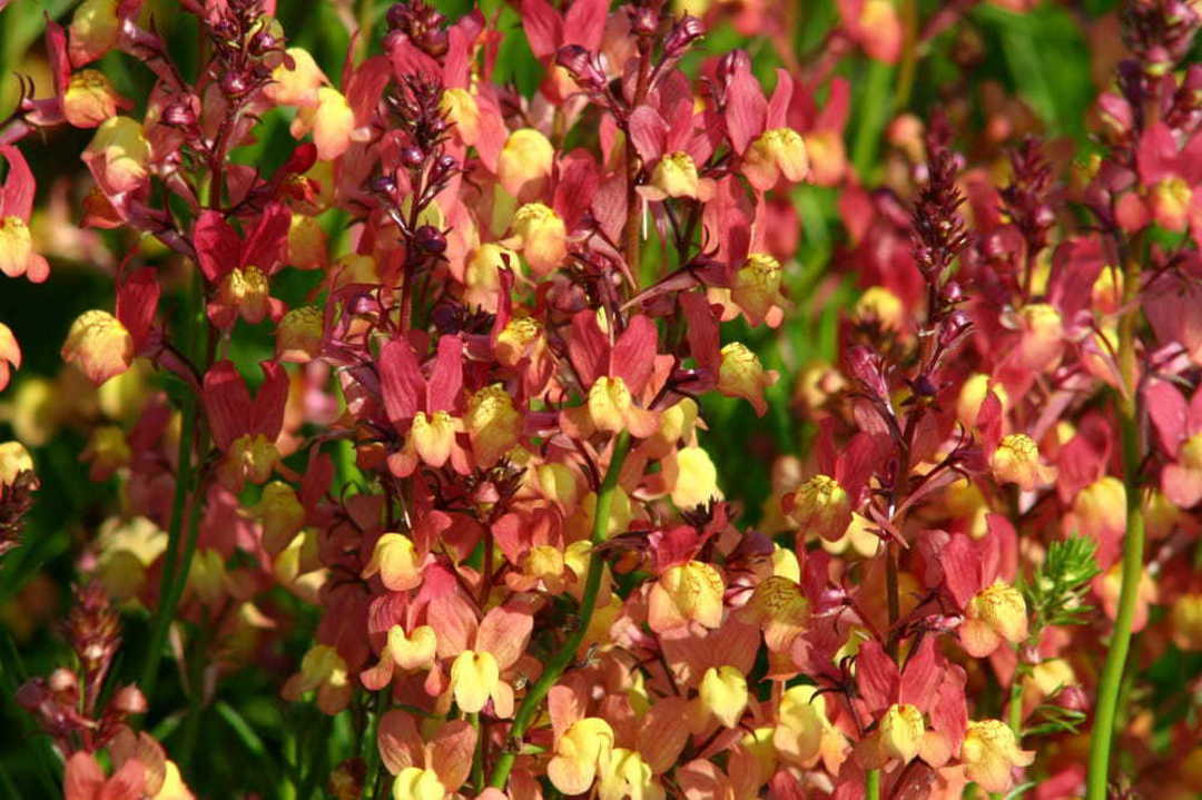 Linaria Licilia Peach - peachy pink Snapdragon like flowers