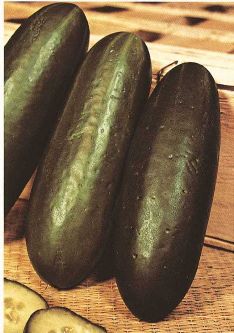 Organic Cucumber Marketmore - dark green telegraph fruit