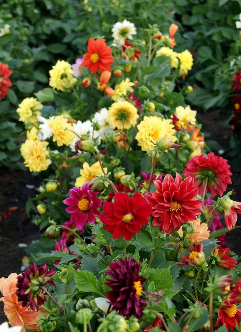 Dahlia Opera Dwarf Mix - Compact colourful selection of Dahlias