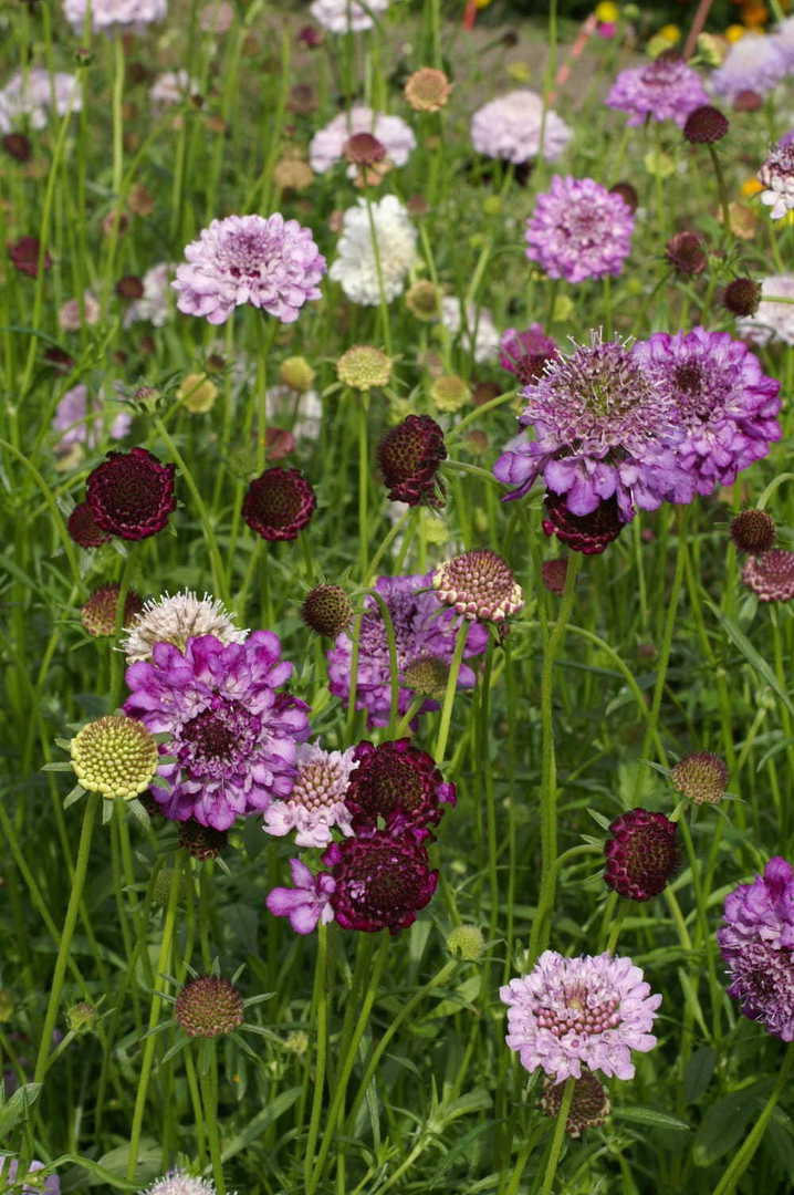 Scabiosa Fragrant Dwarf Doubles - Purple, White, Rose and Red to Violet