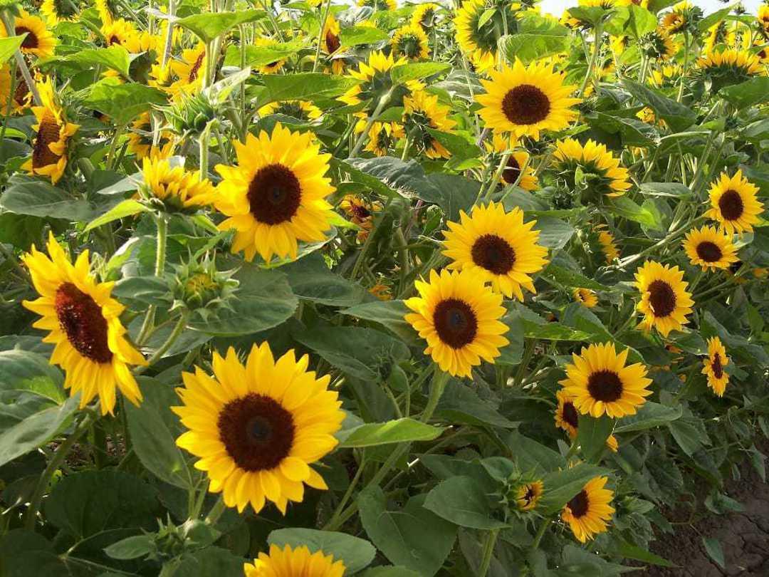 Sunflower Orange Hobbit F1 -Cheery faced, Golden Yellow Sunflower
