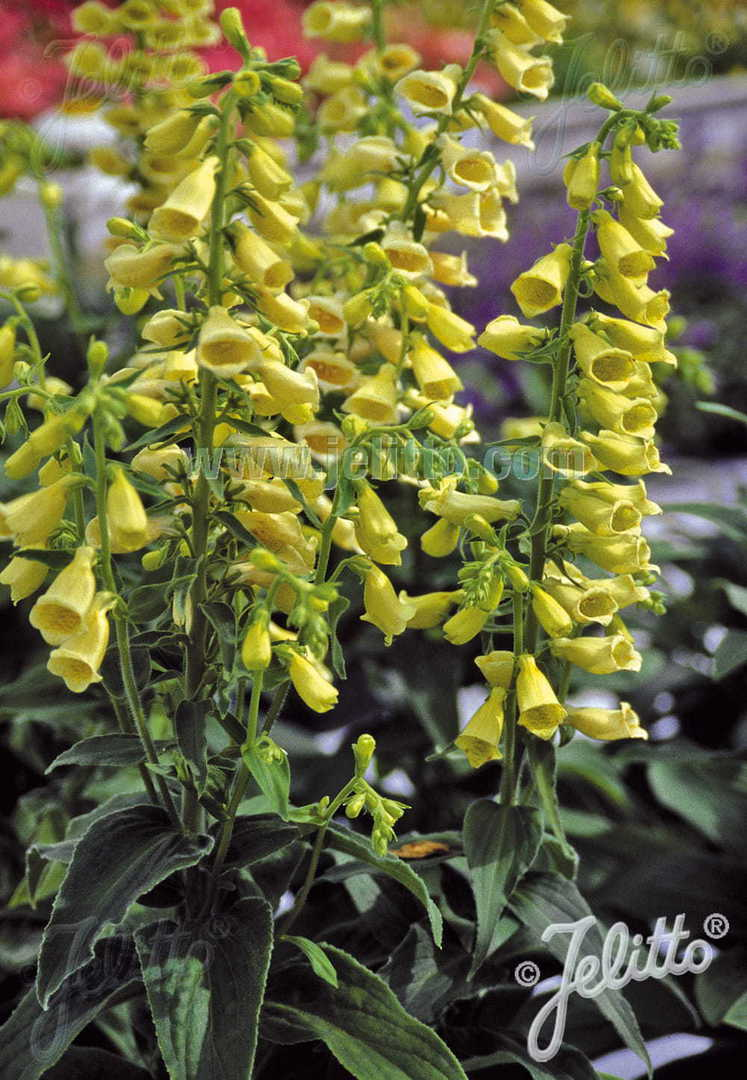 Foxglove Temple Bells - large Creamy Yellow tubular flowers