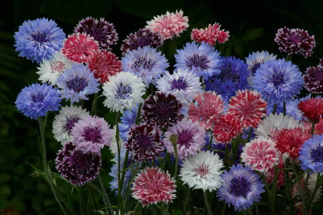 Cornflower Classic Artistic Mix -  bi-coloured and frosted Cornflowers