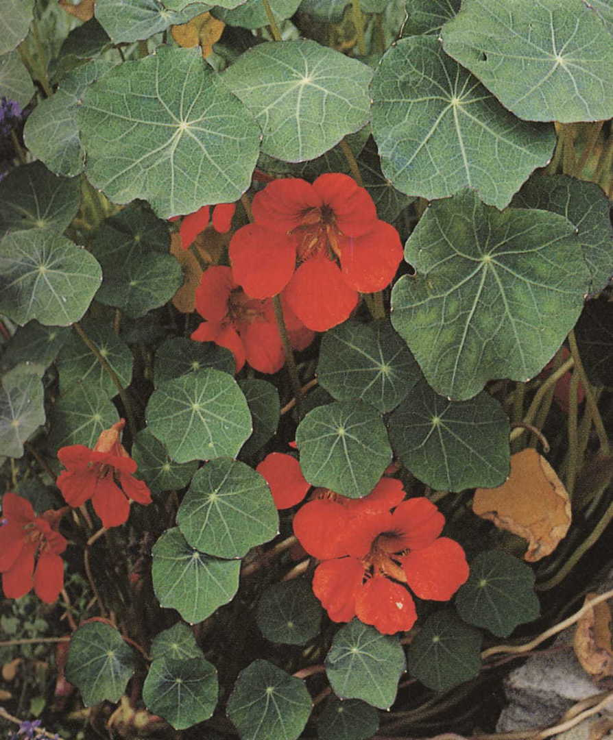 Nasturtium Empress of India - velvety Orange-Scarlet flowers