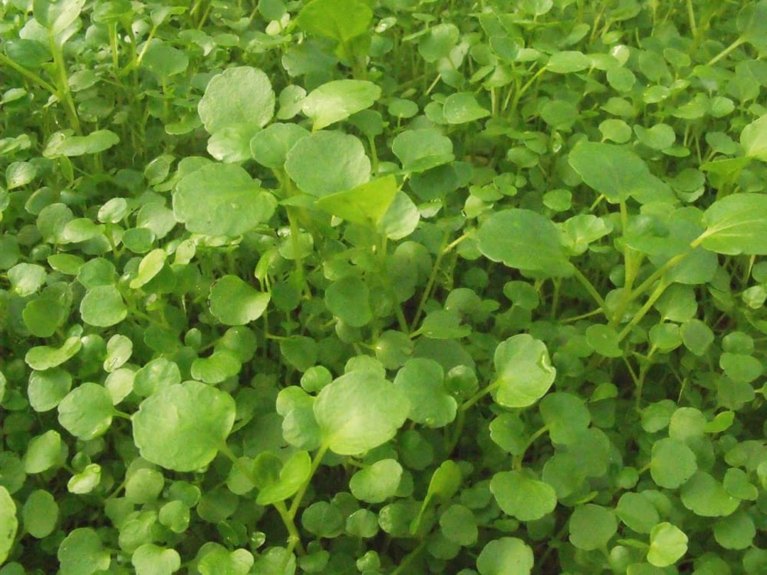 Watercress - Smooth and shiny dark leaves