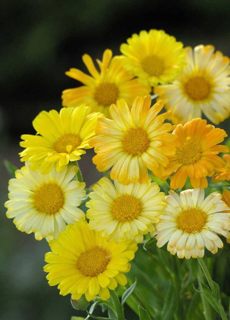 Calendula Daisy Faces -  single daisy like flowers
