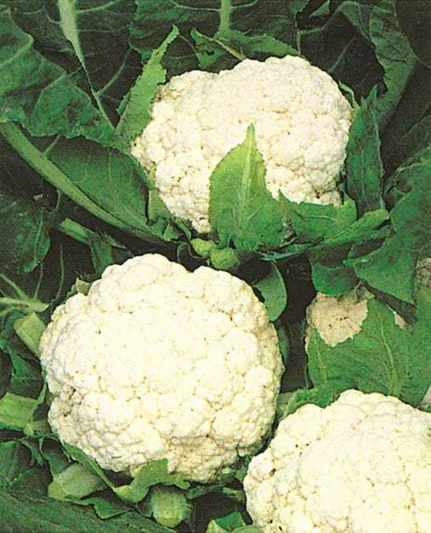 Organic Cauliflower Snowball image 0