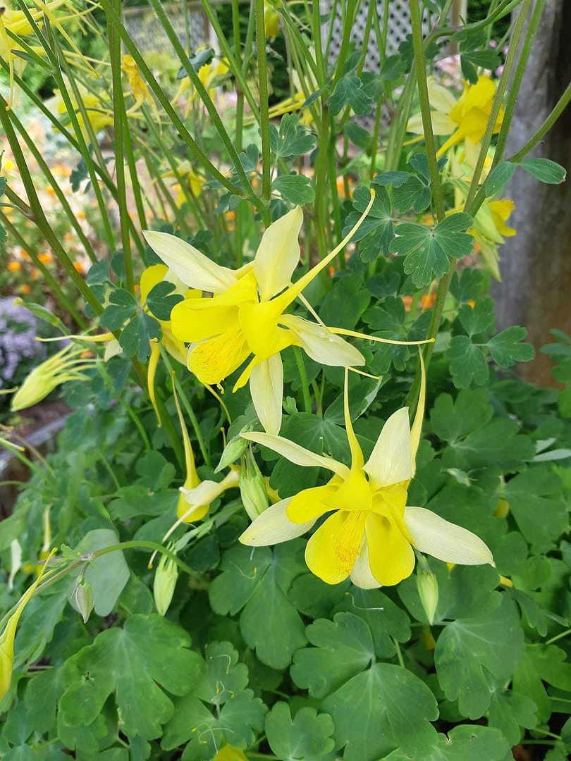 Aquilegia Yellow Star - large yellow flowers