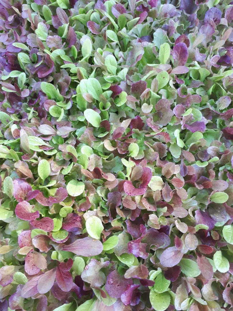 Lettuce Hint of Red Mix Bulk Options image 0