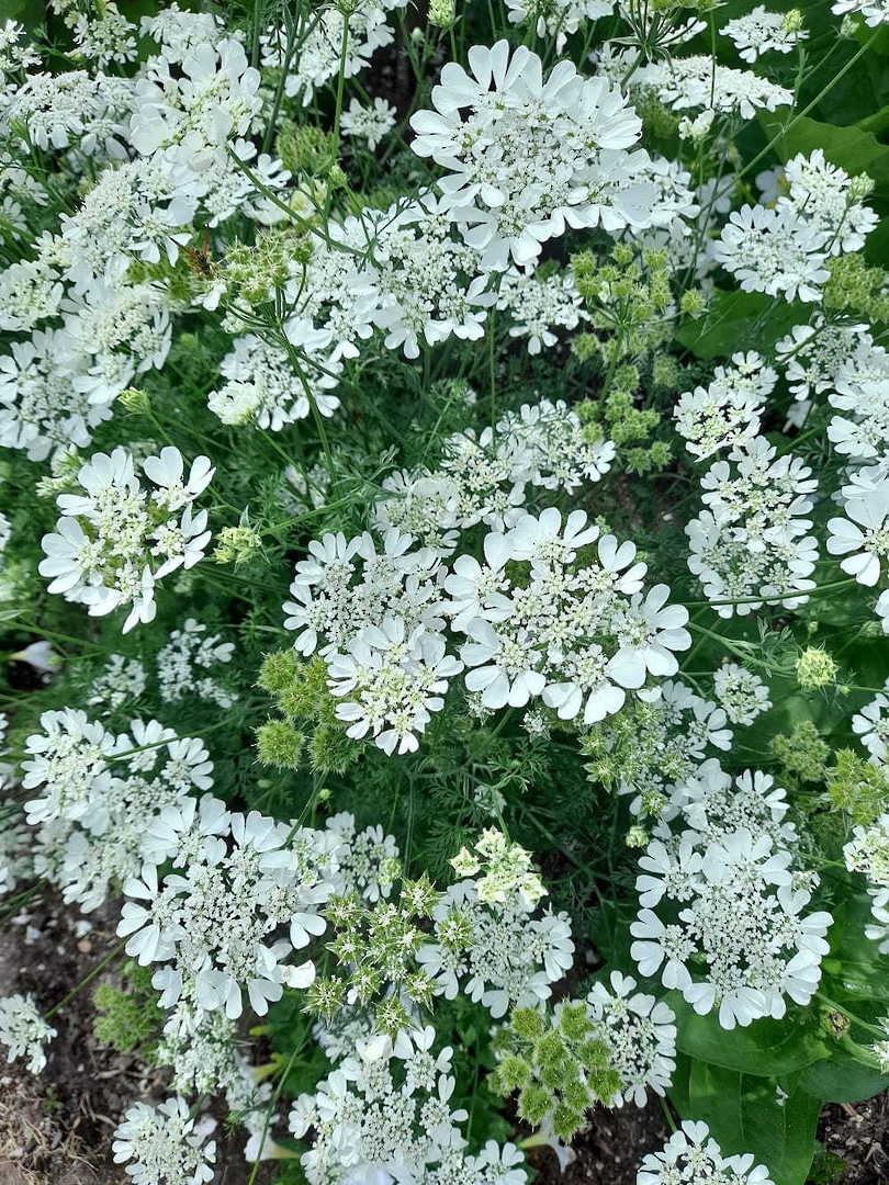 Orlaya White Lace - Beautiful umbels of large White flowers