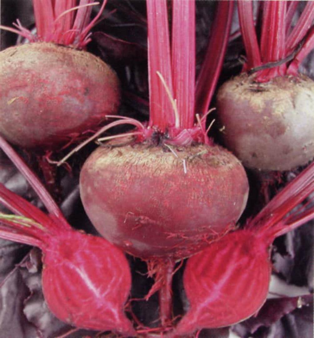 Beetroot Bulls Blood - Beautiful dark beets
