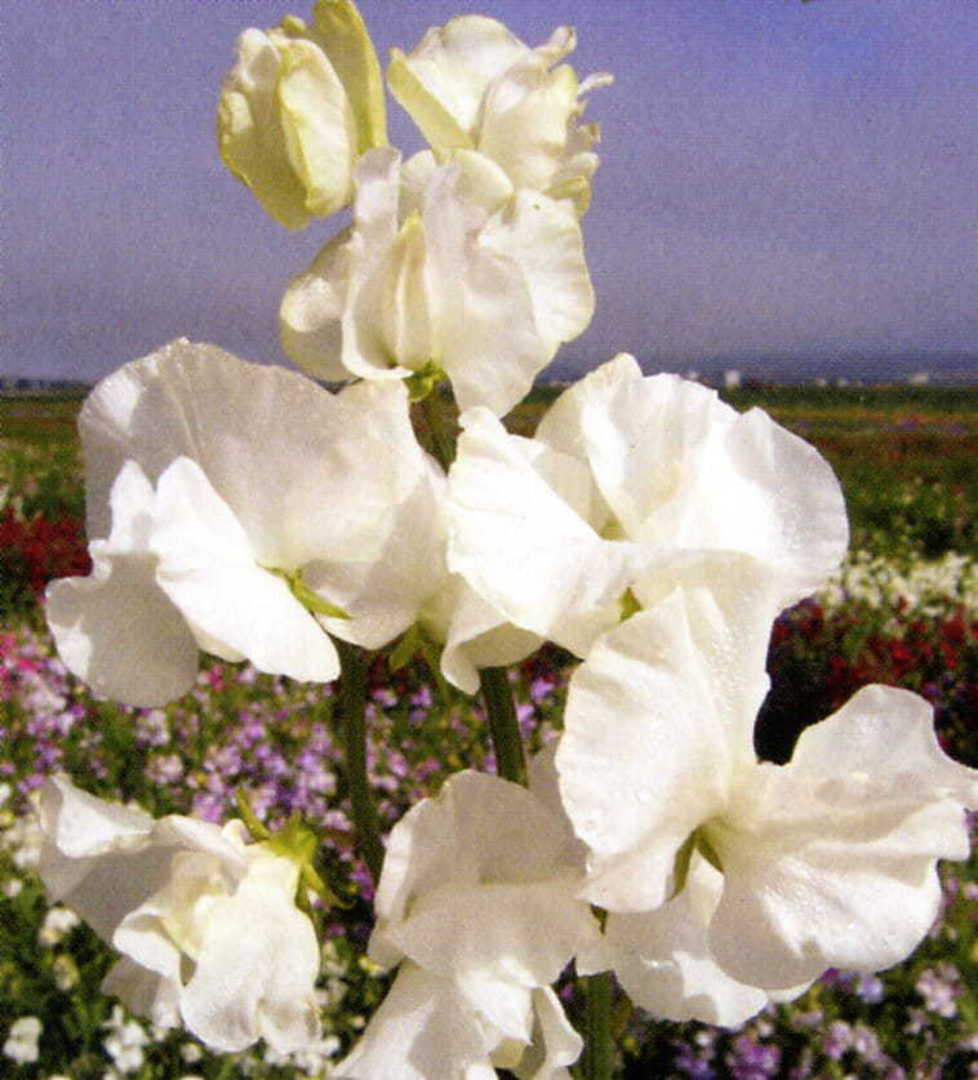 Sweet Pea White Mammoth - Beautiful pure White Sweet Pea