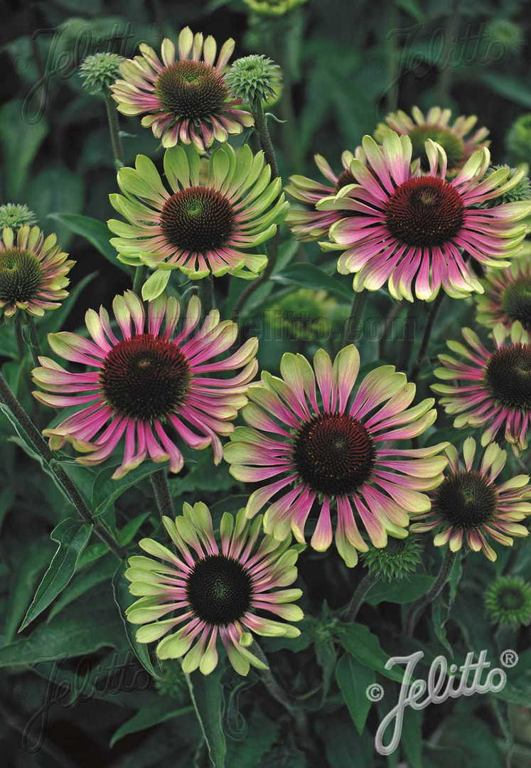 Echinacea Green Twister -  Echinacea with green tipped petals