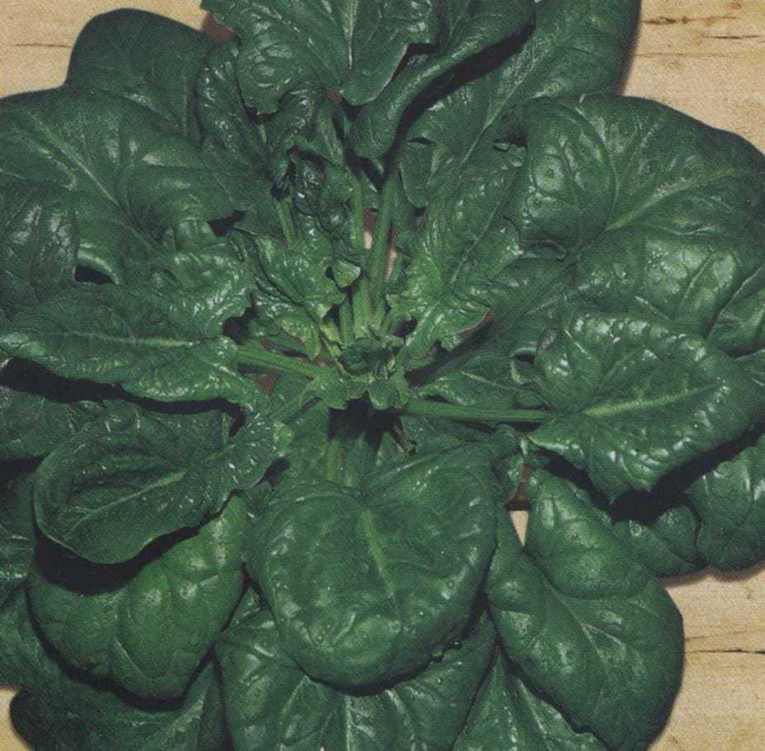 Organic Spinach Winter Giant image 0