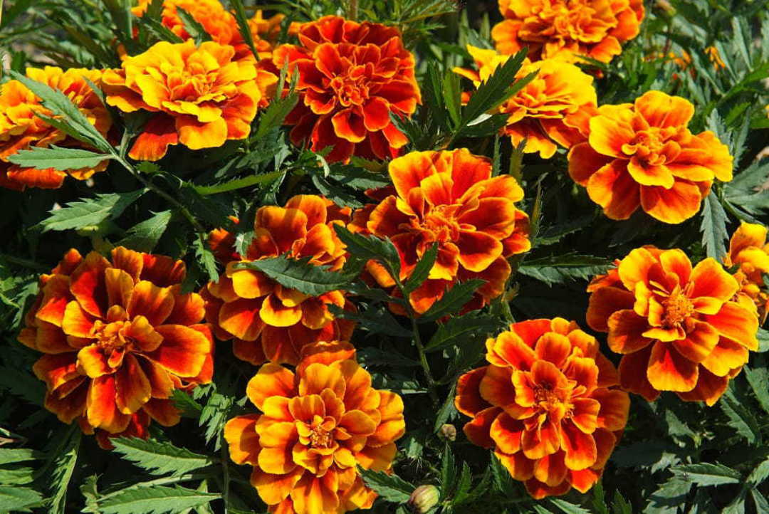 Marigold Honeycomb - double crested flowers with Mahogany