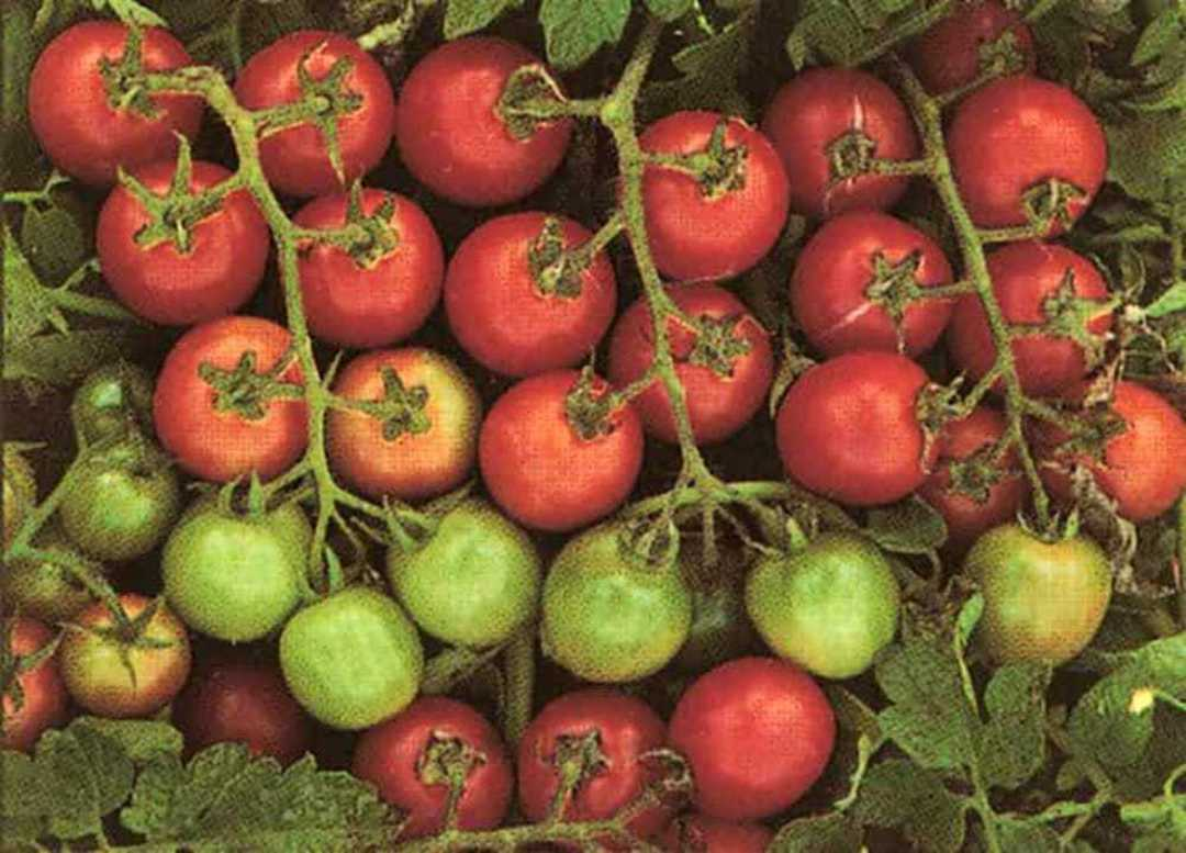 Tomato Tommy Toe - apricot sized red fruit