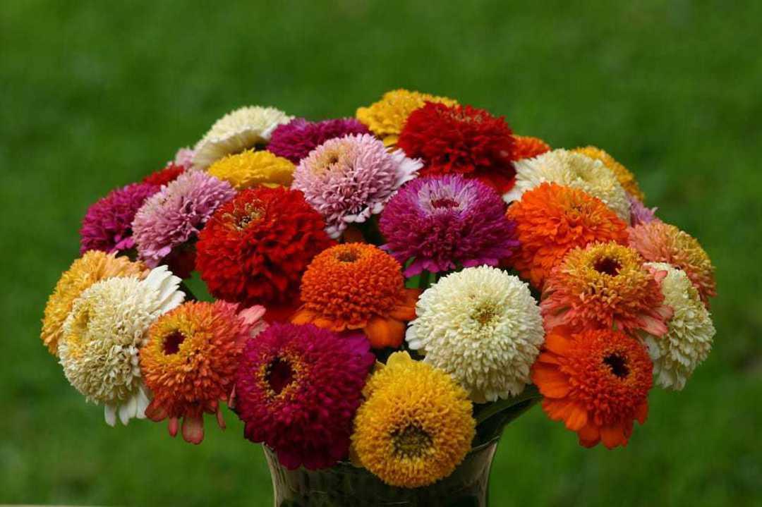 Zinnia Zinderella Blend - Scabiosa-like flowers in a beautiful array of colours