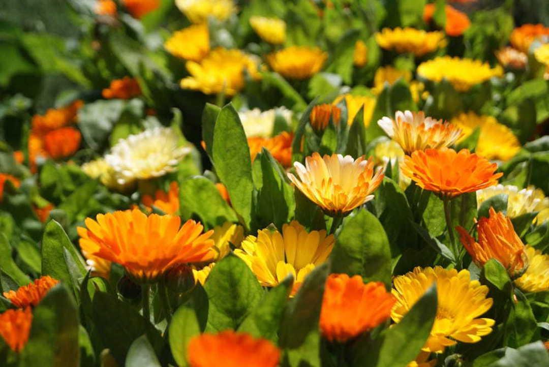 Calendula Dwarf Colours Mixed - 7-8 cm blooms