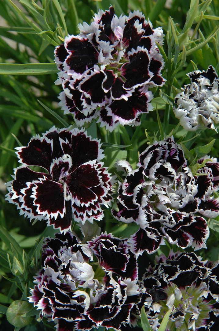 Dianthus Black & White Minstrels -delightful effect of deep Purple-Violet
