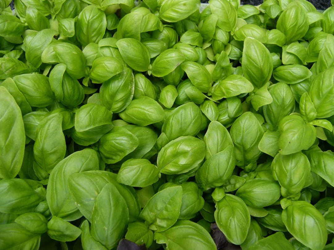 Organic Basil Sweet Genovese Bulk Options image 0