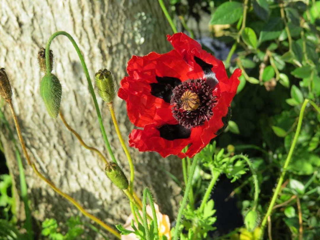 Poppy Ladybird - fire engine Red Poppy with a black centre