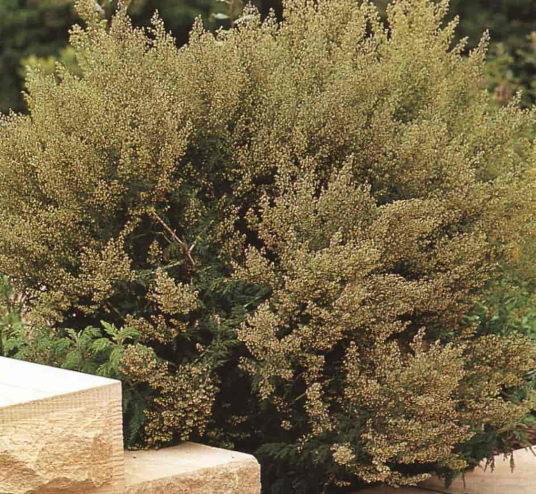 Wormwood - finely cut silver-grey foliage