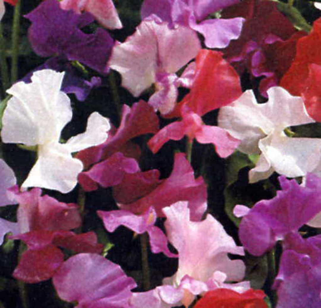 Sweet Pea JetSet -  large bright flowers on strong stems