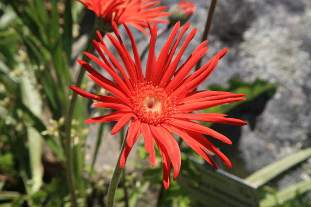 Gerbera Transvaal Daisies - shades of Red, Pink. Orange, Purple and Yellow