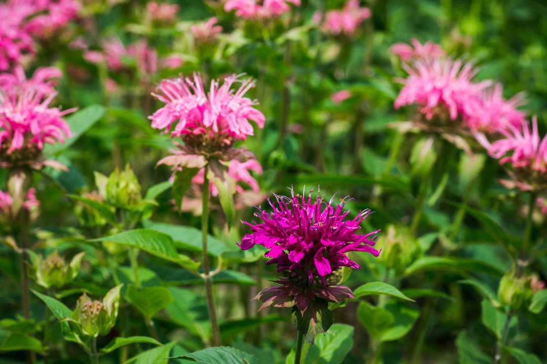 Monarda Panorama mixed - special mixture of Red, Pink and Salmon