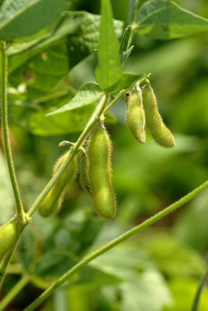 Soybean Sonya pods hanging from plant