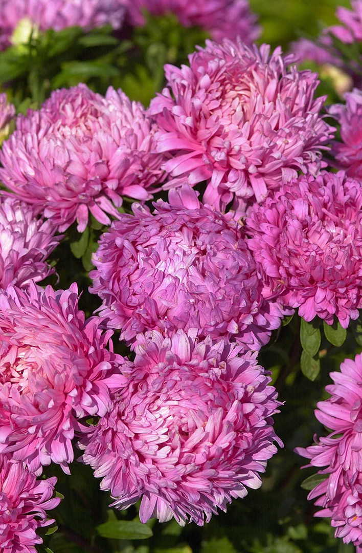 Aster King Size Rose - Large fully double pink petalled Aster