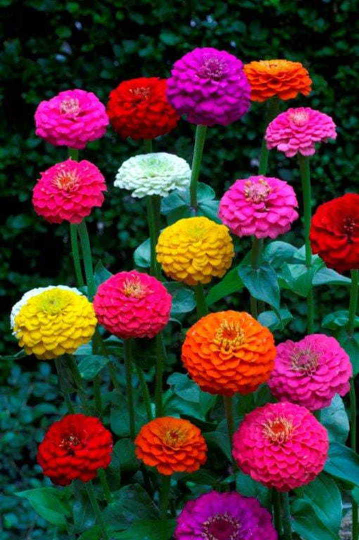 Zinnia Lilliput mixture image 0
