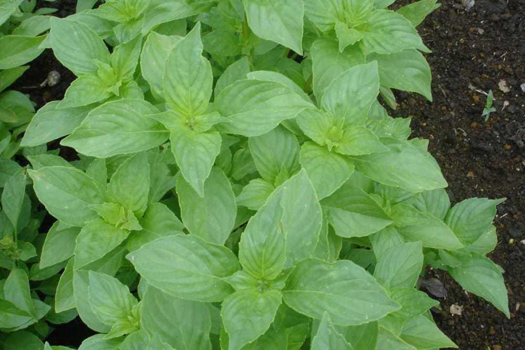 Basil Mrs Burns Lemon - Medium sized and very bright green leaves