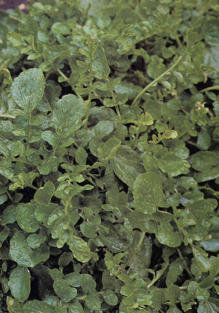 Cress American Upland - Rosette of dark green, glossy, rounded leaves